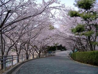 グリーンロードの桜